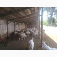 Продам баранов и коз