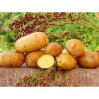 Продажа оптом в больших количествах картофеля разных сортов