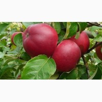 Продам яблоко оптом с сада. В наличии Селеста, Прима, Гала Маст