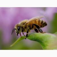 Продам Пчелопакеты Карпатской Породы
