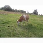 Продаю гарну корову 24 000 грн. Торг