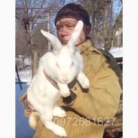 Продаю дорослі та молодняк кролі бройлери з Європи ТЕРМОНСЬКА БІЛА
