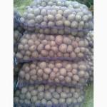 Продам картоплю насіневу тайфун