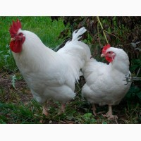 Подрощеные цыплята разных пород. Возраст от 3х недель