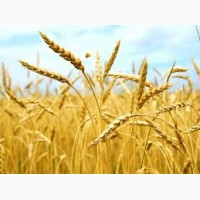 Продам крупу ячневую, пшеничную оптом