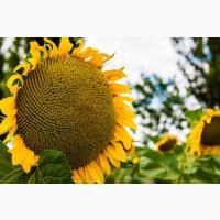 Насіння соняшнику гібрид ясон