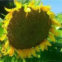 Семена подсолнечника Аракар, Лимит