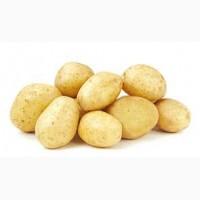 Заключим договор на поставку картофеля оптом в больших количествах