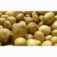 1)Продам картофель оптом Ривьера Продам Семянной картофель оптом. В наличии разные сорта