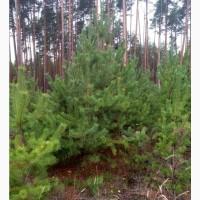 Продам сосны обыкновенные, елки ОПТом