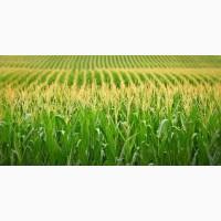 Солонянский 298 СВ ФАО 290 семена кукурузы