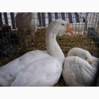 Пух-перо а также летний подскуб гусей