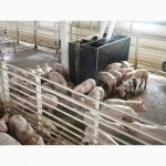 Продам мясних поросят