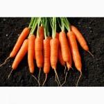Продам семена морковки оптом