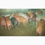 Продаю свині та поросята