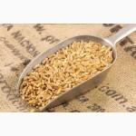 Продам яру пшеницю АРНАУТКА