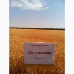 Шестопаловка пшеница озимая