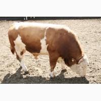 Куплю ВРХ (корови бики кони)