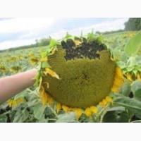 Семена подсолнечника HC Имисан