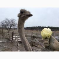 Меняю страусов