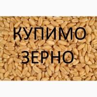 Постійно купуємо пшеницю фуражну