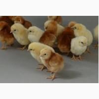 Купуйте перевірених курчат порід Ломан Вайт і Ломан Браун