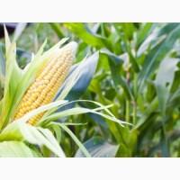 Закуповую кукуруздзу, дорого