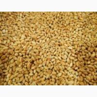 Пшеница ПРЕЙРИ 109