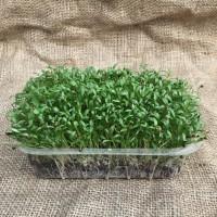 Мікрозелень кінзи