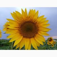 Pegas (NS H 6341) насіння соняшнику під євро-лайтнінг