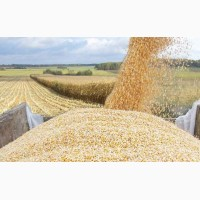 Кукуруза самовывоз