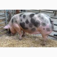 Свиньи домашняя ферма