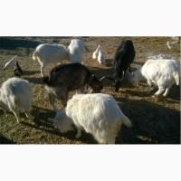 Продам коз.Полтавская область