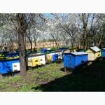 Продам бджолопакеты 500, штук