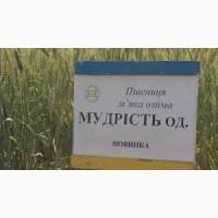 Пшеница озимая МУДРОСТЬ ОДЕССКАЯ, Украина, 1репр., элита