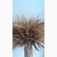 Покупаем пшеницу у производителей