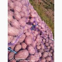 Продам картоплю товарну та насінева Бела Роса, Гранада, Королева Анна, Мелоді, Наташа