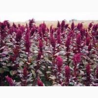 Продам насіння амаранту харчового, сорту Ацтек