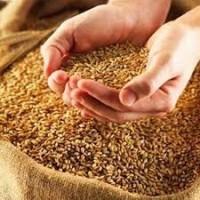 Закупаем пшеницу твердых сортов(стекловидную)