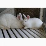 Продаю кроликов породы Новозеландская Белая