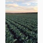 Продам капусту белокочанную оптом от производителя