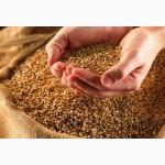Предприятие З А К У П А Е Т зерно у производителей, опт, Украина