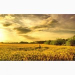 Закупаем пшеницу, Урожай 2017