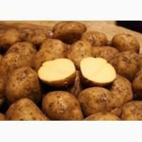 Продажа картофеля крупным оптом, Черниговская обл