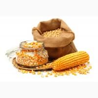 Куплю кукурузу урожай 2019
