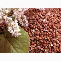 Buckwheat for export