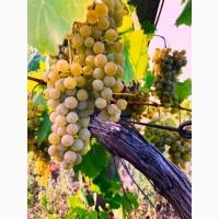 Продам винный виноград. Сорт Цитрон Магарача