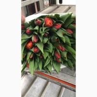 Тюльпаны Голландия опт