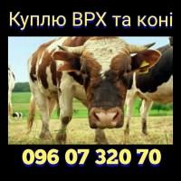 Куплю ВРХ, бики, корови, коні. В Вінницькій, Хмельницькій, Чернівецькій та сусідніх обл