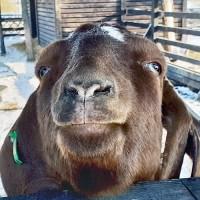Продам коз Бурской породы - мясная порода коз